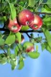 Röda äpplen på entree royaltyfri bild