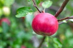 Röda äpplen på ett träd Arkivbilder