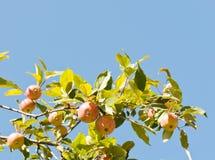 Röda äpplen på ettträd förgrena sig Fotografering för Bildbyråer