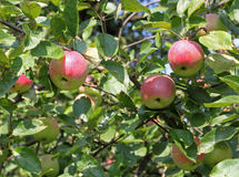 Röda äpplen på filialen Royaltyfri Foto