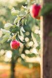 Röda äpplen på filialen som är klar för skörd arkivbild