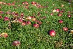 Röda äpplen på gräset i en solig dag arkivbilder