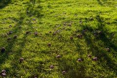 Röda äpplen på gräset i en solig dag royaltyfri foto