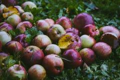 Röda äpplen på grönt gräs Royaltyfri Foto