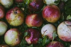 Röda äpplen på grönt gräs Arkivbilder