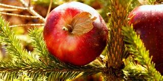 Röda äpplen på granträdet Arkivfoto