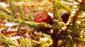 Röda äpplen på granträdet Fotografering för Bildbyråer