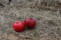 Röda äpplen på hö i höst äppleäpplefilialen bär fruktt leavesfruktträdgården Royaltyfri Fotografi