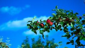 Röda äpplen på stor filial mot blå himmel lager videofilmer
