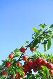 Röda äpplen på trädet med blå himmel Arkivfoton