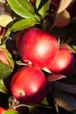 Röda äpplen på trädfilial Royaltyfri Bild