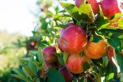 Röda äpplen på trädfilial Fotografering för Bildbyråer