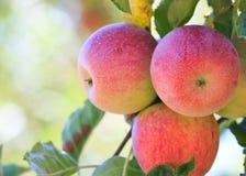 Röda äpplen på tree Royaltyfria Foton