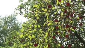 Röda äpplen på treen stock video