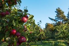 Röda äpplen på treen Arkivfoto