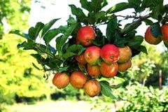 Röda äpplen på treen Arkivbild