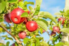 Röda äpplen som hänger på trädet Royaltyfria Foton