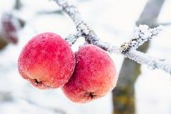 Röda äpplen som täckas med vit frost i vinter royaltyfria bilder