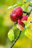 Röda äpplen som växer på träd Arkivfoton