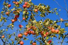 Röda äpplen växer på en filial Fotografering för Bildbyråer