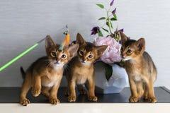 Röda Abyssinian kattungar är roliga och gladlynta arkivfoton