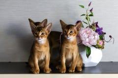 Röda Abyssinian kattungar är roliga och gladlynta royaltyfri bild
