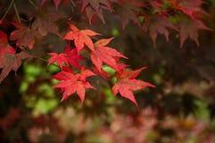 Röda Acer lämnar royaltyfri fotografi