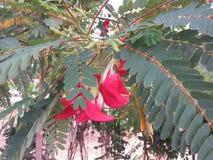 Röda Agasta blommor Arkivfoto