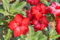 Röda aktuella blommor Fotografering för Bildbyråer