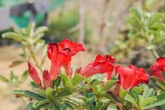 Röda aktuella blommor Royaltyfri Fotografi