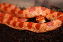 Röda Albino Pet Corn Snake Royaltyfria Bilder