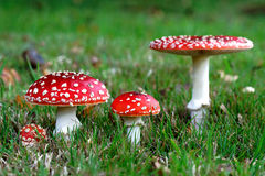 Röda Amanitamuscariachampinjoner Royaltyfria Bilder