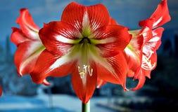 Röda amarillis blomma, makro arkivfoton