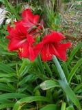 Röda Amarylis i utomhus- blom royaltyfria foton