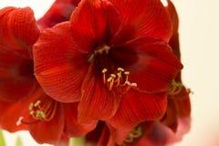 Röda Amaryllis Christmas Flower Arkivbild