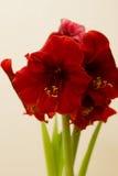 Röda Amaryllis Christmas Flower Royaltyfria Bilder