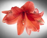 Röda Amaryllis eller belladonnaliljablommor Arkivfoton