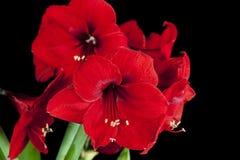 Röda Amaryllis Flowers Arkivbild