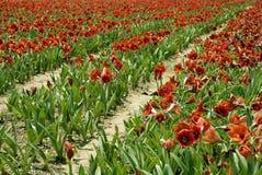 Röda Amaryllis Rows Arkivfoto