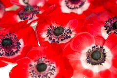 Röda anemonas på vit bakgrund Royaltyfri Foto