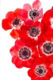 Röda anemonas på vit bakgrund Royaltyfri Fotografi