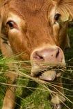Röda Angus Cow i Skottland arkivfoto