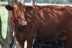 Röda Angus Cow Portrait arkivbilder
