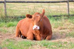 Röda Angus Dairy Cow Rests betar in arkivbild