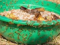 Röda Ant Eggs Arkivbilder