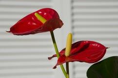 Röda Anthuriumblomningar Arkivbild