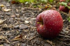 Röda Apple på jordningen fotografering för bildbyråer