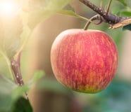 Röda Apple på träd i den Apple fruktträdgården Royaltyfri Fotografi