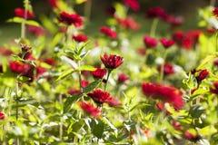 Röda asterblommor, nära övre för natur Royaltyfria Bilder