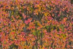 Röda Autumn Trees Leaves arkivbilder